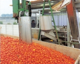 Tomato processing fresh tomatoes receiving system
