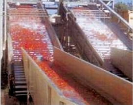 Tomato processing fresh tomatoes receiving washing system
